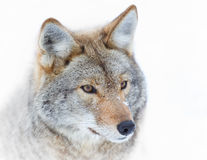 Крупный план койотов в снеге зимы стоковые фотографии rf