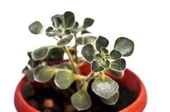 Крупный план комнатного растения Стоковое Изображение RF