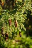 Крупный план конусов сосны на дереве стоковое фото rf