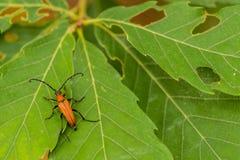 Крупный план коричневого жука с длинной антенной Стоковая Фотография RF