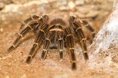 Крупный план коричневого мексиканского brachypelma тарантула Стоковое Изображение RF