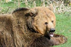 Рот медведя Брайна открытый Стоковая Фотография RF