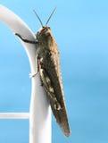 Крупный план коричневого насекомого кузнечика стоковая фотография