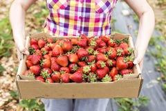 Крупный план коробки коробки вполне с свежими красными клубниками в руках Стоковое Фото