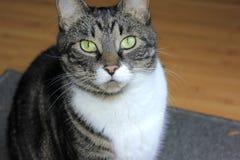 крупный план кота eyes зеленый tabby широко Стоковое Изображение