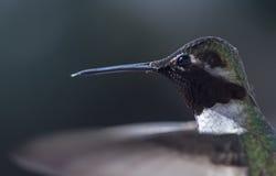 Крупный план колибри Анны Стоковая Фотография RF