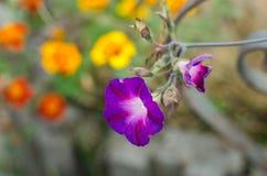 Крупный план колокола цветка сада фиолетовый Стоковое Изображение