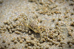 Крупный план краба на песчаном пляже в Krabi Стоковые Фото