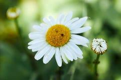 Крупный план красивой желтой и белой маргаритки цветет на зеленом n Стоковая Фотография