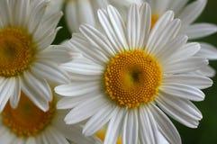 Крупный план красивой желтой и белой маргаритки цветет на зеленом n Стоковое фото RF