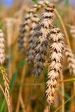Крупный план красивой пшеницы Стоковые Фото