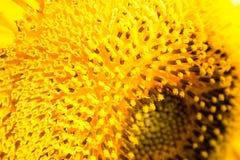 крупный план красит желтый цвет цветка красный Стоковая Фотография RF