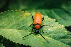 Крупный план красного жука сидя на зеленых лист Стоковое Изображение RF