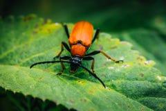 Крупный план красного жука сидя на зеленых лист Стоковая Фотография