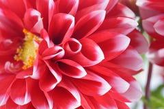 Крупный план красного и белого цветка георгина Стоковые Фото