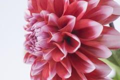 Крупный план красного и белого цветка георгина Стоковая Фотография
