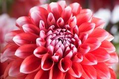 Крупный план красного и белого цветка георгина Стоковое Изображение RF
