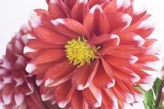Крупный план красного и белого цветка георгина Стоковое фото RF