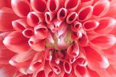 Крупный план красного и белого цветка георгина Стоковая Фотография RF