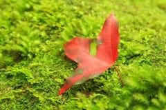 Крупный план красного кленового листа Стоковая Фотография