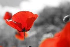Крупный план красного мака на черно-белом background1 Стоковая Фотография