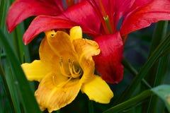 Крупный план красного цвета и лилии Стоковые Фото