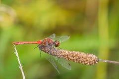 Крупный план красного dragonfly на стержне Стоковое Изображение