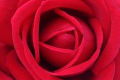 Крупный план красной розы Стоковые Изображения RF