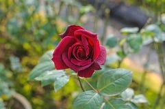 Крупный план красной розы. Стоковые Фотографии RF