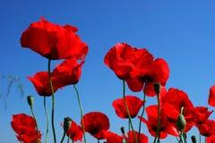Крупный план красных маков на голубом sky1 Стоковое Фото