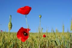 Крупный план красных маков на поле хлопьев и голубом sky1 Стоковые Изображения