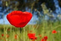 Крупный план красных маков на поле хлопьев и дуба на background1 Стоковая Фотография RF
