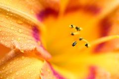 Крупный план красочного цветеня лилии с падениями росы Стоковое фото RF