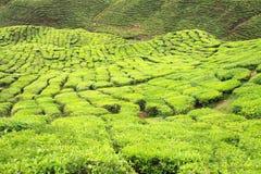 Крупный план кустов чая на плантации чая Стоковое Фото