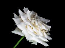 Крупный план к гибридам белой Розы Розы на черной предпосылке Стоковые Изображения RF
