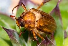 Крупный план майского жука Стоковое Изображение