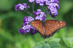 Крупный план макроса бабочки монарха на фиолетовом цветке в саде Стоковые Изображения RF