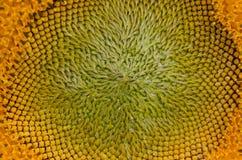 Крупный план макроса солнцецвета стоковая фотография