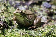 Крупный план макроса тучных зеленых жабы или лягушки сидя на влажной траве пруда Стоковое Фото