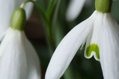 Крупный план макроса цветка Snowdrop весны Стоковое Изображение RF