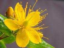 Крупный план малого желтого цветка wort Стоковое Фото