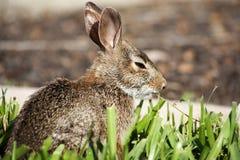 Крупный план милого кролика зайчика cottontail в саде Стоковая Фотография RF