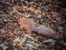 Крупный план милой белки в лесе осени между упаденными листьями Стоковая Фотография RF
