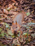 Крупный план милой белки в лесе осени между упаденными листьями Стоковое Фото