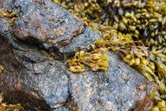 Крупный план морской водоросли на утесах стоковые фотографии rf