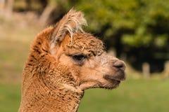 Крупный план молодой головы альпаки Стоковая Фотография RF