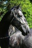Крупный план молодой серой головы лошади lipizzaner против зеленой естественной предпосылки Стоковое Изображение RF