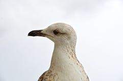 Крупный план молодой чайки смотря к левой стороне Стоковое Изображение