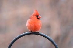 Крупный план мужского кардинала Стоковые Изображения