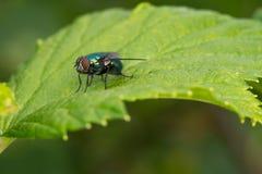 Крупный план мухы на зеленых лист Стоковое Изображение RF